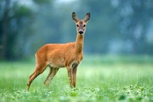 deer in richmond park near clayton hotel chiswick